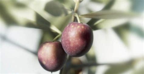 Minyak Zaitun Konsumsi minyak zaitun