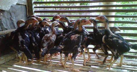Bibit Anak Ayam Negeri cara memilih bibit ayam bangkok yang bagus ayam bangkok