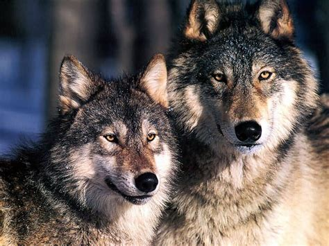 wolf s threat status of the grey wolf in north america species