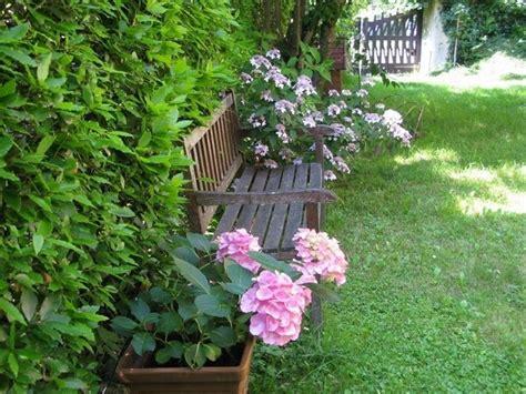 ortensie in vaso ortensie in vaso piante da giardino coltivare le