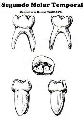 imagenes dientes temporales 15 mejores im 225 genes de anatom 237 a dental en pinterest