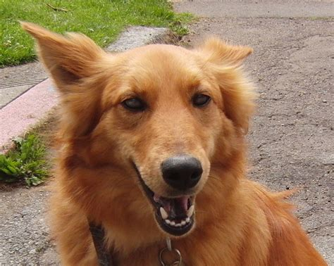 golden retriever mixed breeds chow chow and golden retriever mix