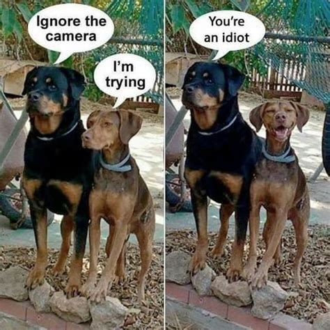 rottweiler jokes 1000 ideas about rottweiler on rottweilers rottweiler puppies and
