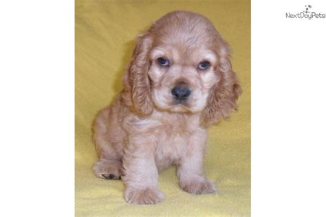 cocker spaniel puppies ohio scooter cocker spaniel puppy for sale near akron canton ohio 992db290 c5e1