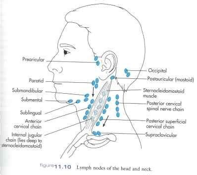 glands in the neck and throat diagram is it normal to feel lymph nodes in the neck they feel