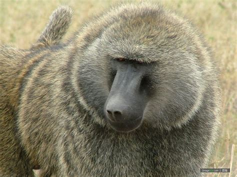 狒狒图片 Baboon - 图蛙 ImageWa.com