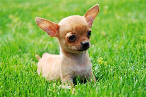images of chihuahua puppies chihuahua puppies photos small breed photos