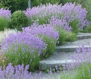 lavender banks garden allotment outside