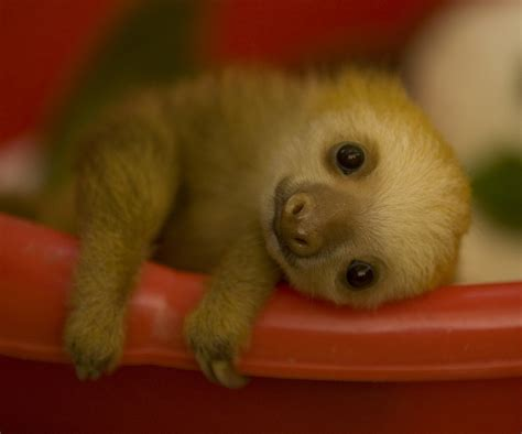 Cuteness Alert: Baby Sloth   The Worley Gig