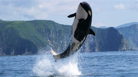 killer whale collection killer whale wallpapers with 45 items