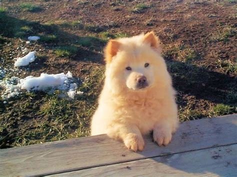 golden retriever chow mix lifespan 8 best golden chow images on doggies chow chow and chow chow mix