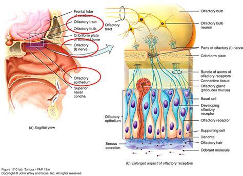 olfactory pathway diagram neuron pathways diagram thyroid pathways diagram elsavadorla