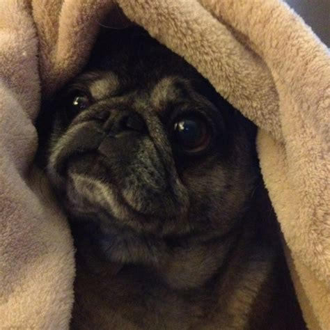 pug blanket pug in a blanket pugs
