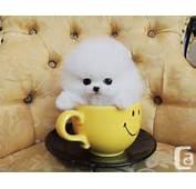Cute White Teacup Pomeranian Puppies