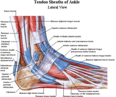ankle diagram ankle muscles diagram anatomy sciences