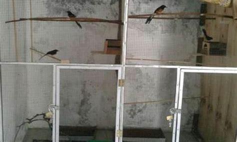 Tempat Makan Burung Murai tips membuat kandang penangkaran murai batu paling ideal