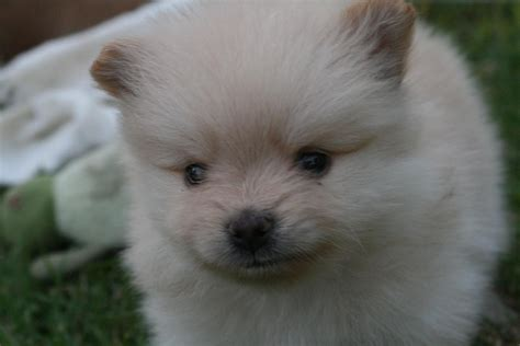 shih tzu mixed with wiener shih tzu pomeranian mix puppies picture