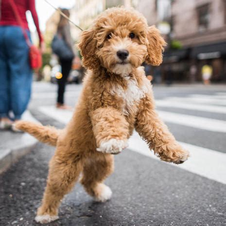 goldendoodle central ny abigail pet portraits by the dogist pictures cbs news