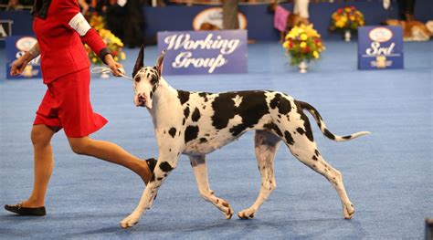 forget football the national dog show is thanksgivings forget football the national dog show is thanksgiving s