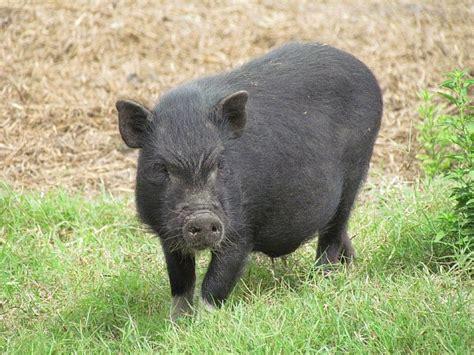 potbelly pig pigs pinterest