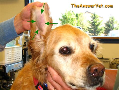 hematoma ear what is a hematoma in a or cat s ear