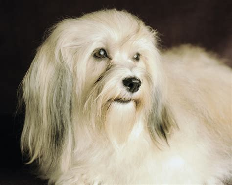 happy paws havanese these beautiful photos were taken after earned akc chionship photos