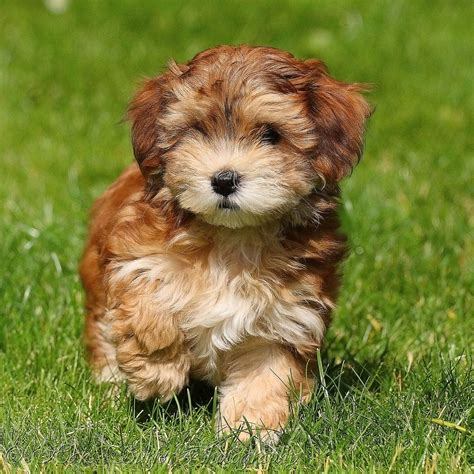 havanese breeders 30 cutest pictures of havanese puppies best photography landscapes and animal