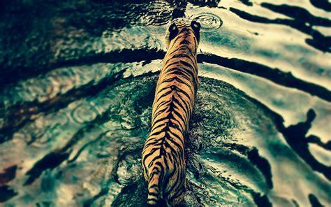 wallpaper tumblr tiger tiger in disneys animal kingdom hd animals 4k wallpapers