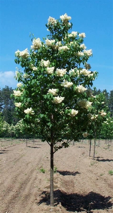 lilac tree information syringa reticulata ivory silk ivory silk lilac