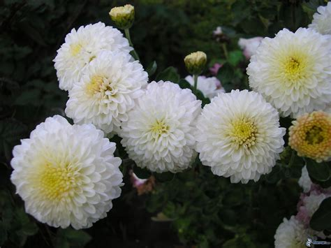 piante mediterranee da vaso chrysanthemum vivai tempesta piante mediterranee