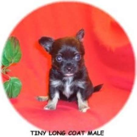 free teacup chihuahua puppies in nc t a kennels chihuahua breeder in willow carolina listing id 19323
