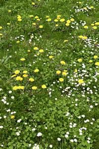 pelouse comment se d 233 barrasser des mauvaises herbes