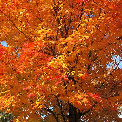 maple tree width sugar maple bare root tree various sizes available the springhouse nursery