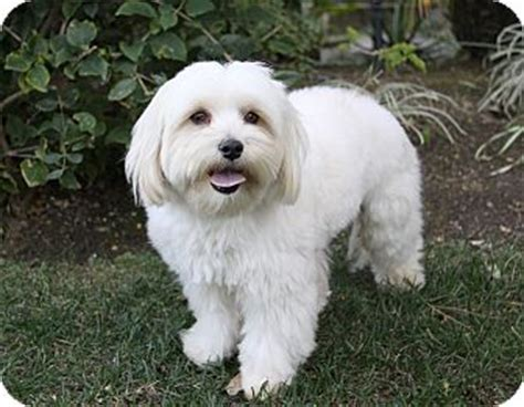 havanese and maltese mix montgomery adopted newport ca havanese maltese mix