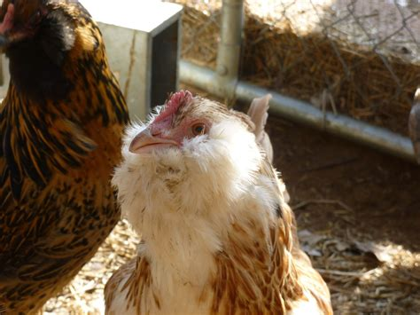 quiet chickens for backyards best quiet egglayers for texas heat page 2