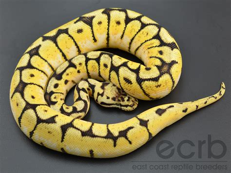 Yellow Belly the gallery for gt pythons for sale