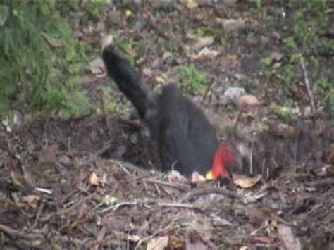 traguardo volante verona wollumbin fighting chief wulambiny momoli scrub turkey