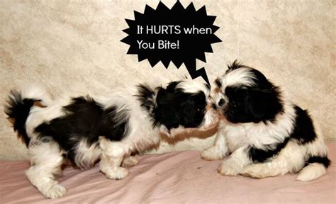 shih tzu puppy biting puppy biting what should you do