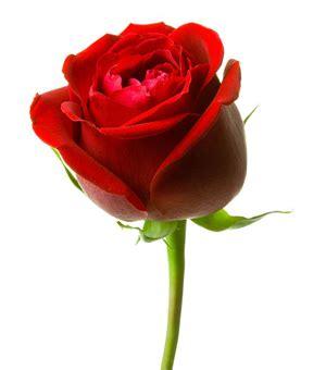 imagenes de rosas jpg fotos rosa imagens rosa clickgr 225 tis
