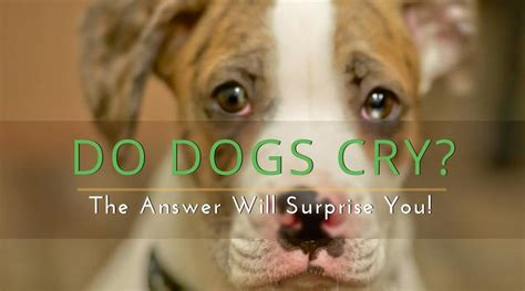 do dogs cry tears do dogs cry the answer will you hi5dog