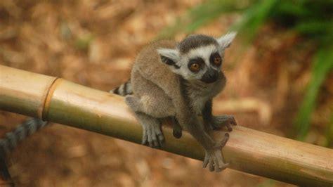 baby lemur baby lemurs