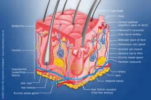 diagram of human skin structure science learning hub
