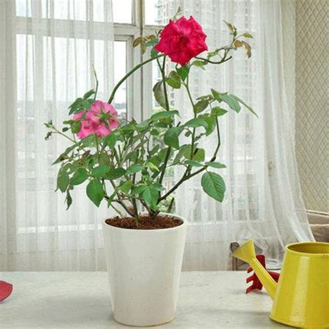 house plants buy online 100 buy house plants now pachira china pachira macrocarpa china pachira