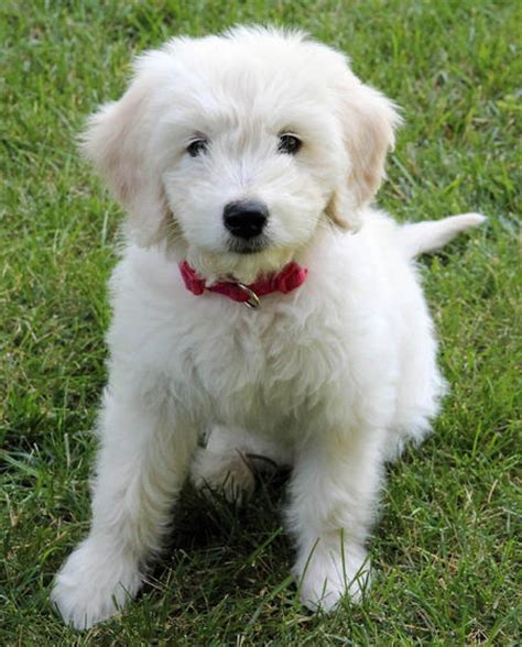 white goldendoodle puppy white goldendoodle puppies www pixshark images galleries with a bite