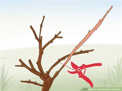 getting wisteria to bloomm 3 ways to get wisteria to bloom wikihow