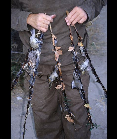 rspb trapping report shocking bird slaughter pictures