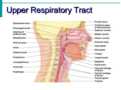 How To Detox The Repitory Trac by 19 Best Chapter 22 Respiratory Images On