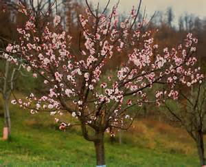 apricot tree in bloom www pixshark com images galleries with a bite