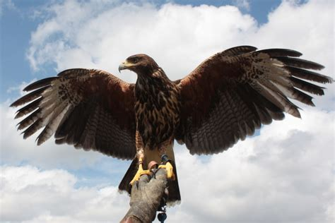 birds of prey tadcaster citizen the official tadcaster