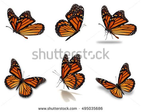 beautiful six monarch butterflies set isolated stock photo
